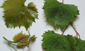Короткоузлие столового и промышленного винограда