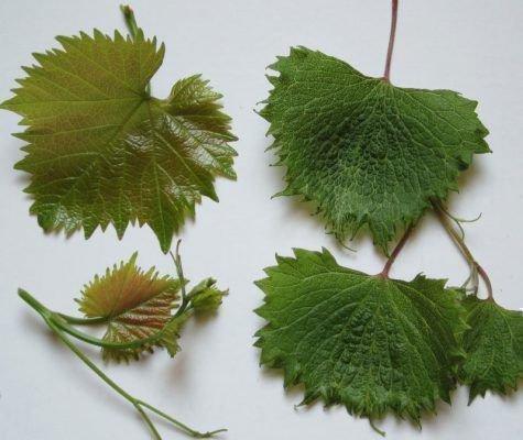 заболевание винограда - инфекционное выраждение