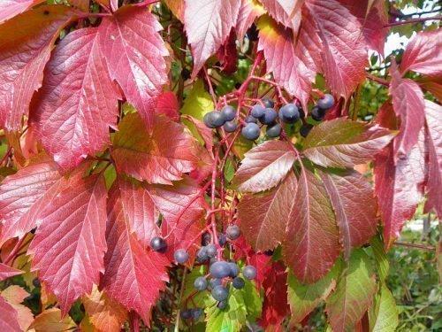 Осенний окрас и ягоды