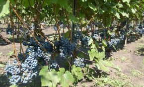Время выращивать ранний и зимостойкий экспресс виноград