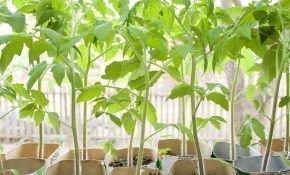 Советы по уходу за рассадой помидоров в домашних условиях