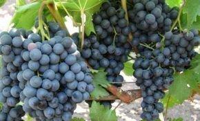 Разновидности сорта винограда Изумруд: основные характеристики