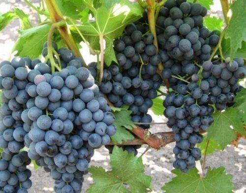 Виноград Изумруд