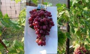Лучистый виноград - кишмиш