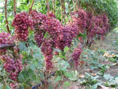 Кишмиш лучистый виноград