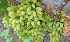 Лучший кишмиш американской селекции – виноград Столетие