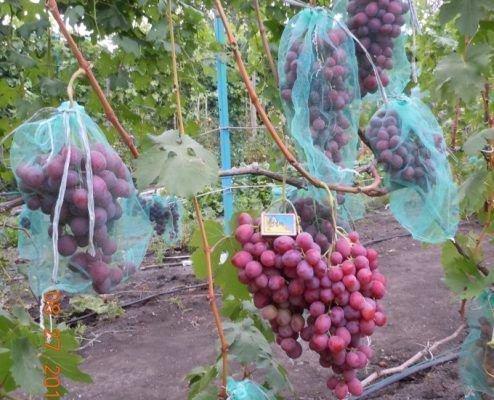 Кисти винограда Дюжина