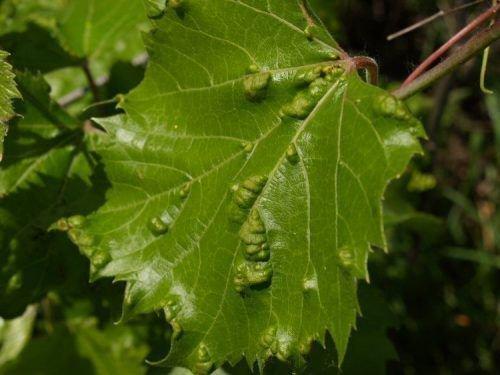 Войлочный виноградный клещ