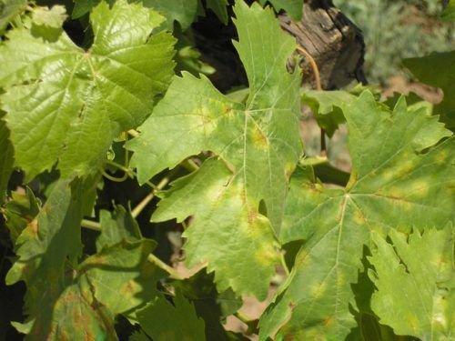 коричневые пятна на листьях винограда