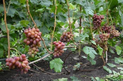 Виноград сорта Королек