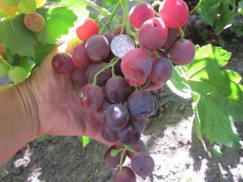 Виноград Королек
