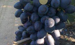 Виноград Краса Балок – вкус неизвестного происхождения