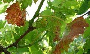 Краснеют листья винограда: как вылечить?
