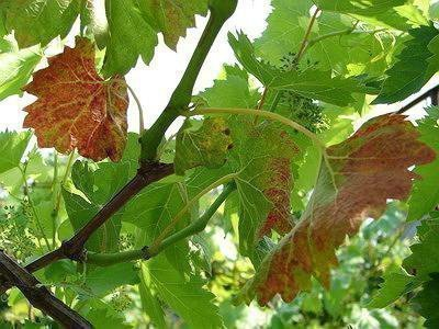 Краснуха винограда