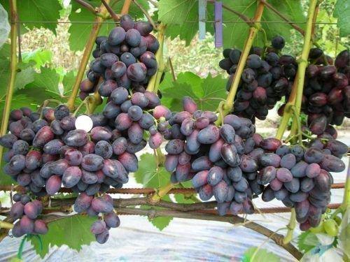 Виноград Красотка