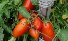 О помидорах «дамские пальчики»