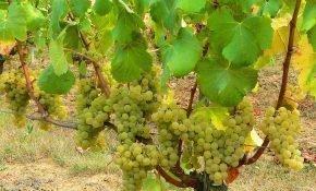 Описание сорта винограда Совиньон