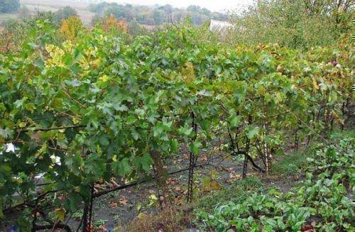 Виноградные кусты