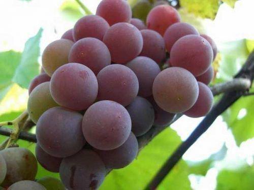 Ягоды винограда Лидия