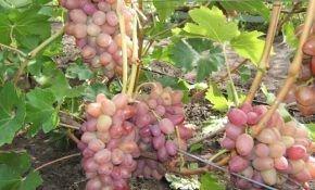 Виноград Липлявка: особенности сорта
