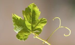 Правильно обрабатываем виноградный лист