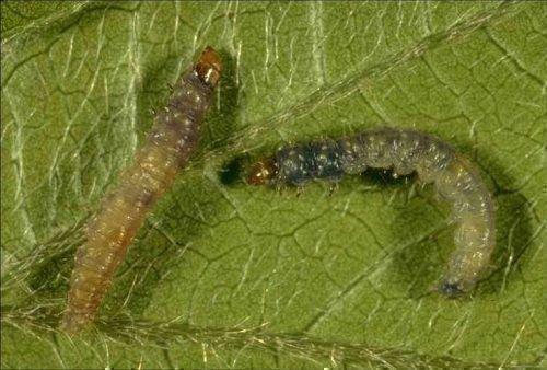 Виноградная листовёртка