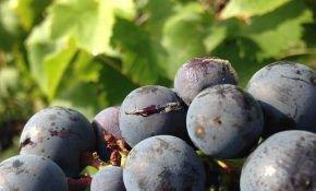 Почему у винограда лопаются ягоды?