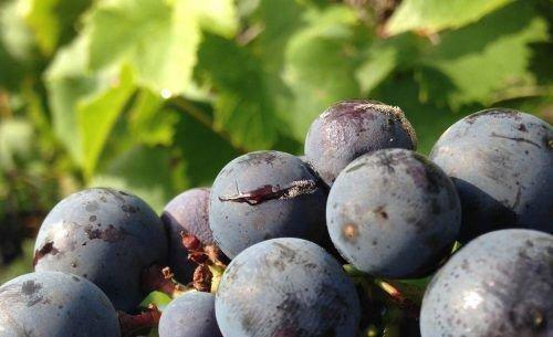 Лопнутые ягоды винограда