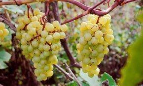 Характеристика сортов винограда мадлен