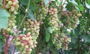 Удачная селекция сортов винограда — Магнат