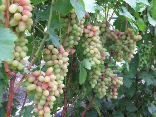 Виноград Магнат