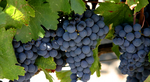 Виноград Мальбек