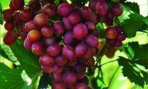 Винограда Малиновый супер: описание сорта