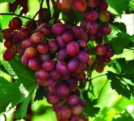 Виноград Малиновый супер