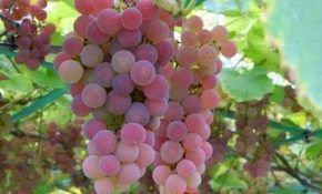 Сорта винограда для средней полосы: минский розовый