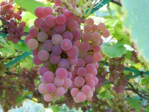 Минский Розовый виноград