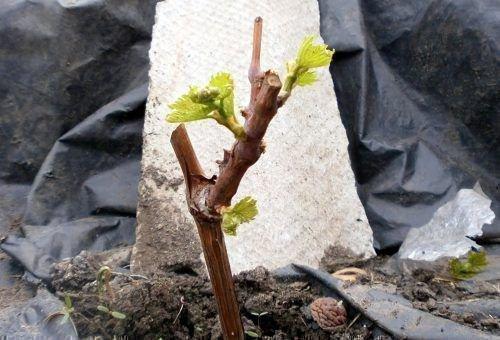Молодой куст винограда