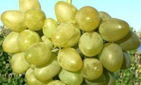 Монарх - сорт винограда