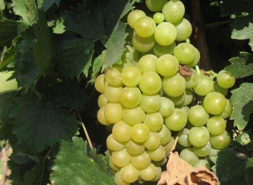Сорт винограда Мускат венгерский