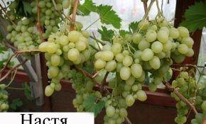 Секреты выращивания винограда Настя