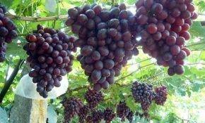 Характеристики винограда Низина