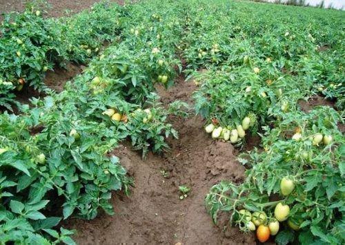 Низкорослые (детерминантные) томаты пасынковать не надо