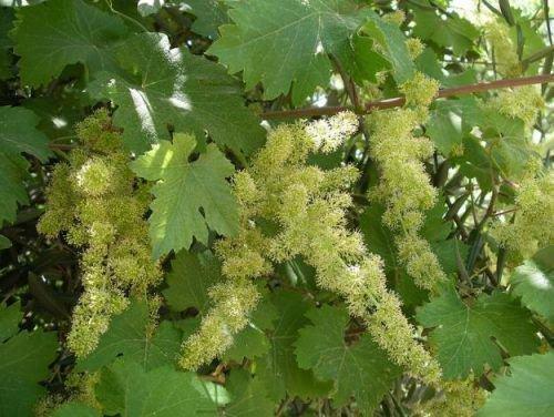 Нормирование соцветий на винограде