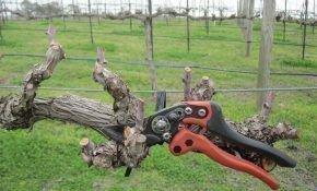 Советы для новичков: как делать обрезку винограда осенью