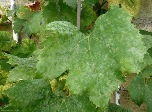 Оидиум на листе винограда