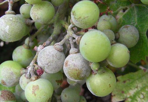 Оидиум ягод винограда