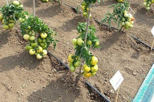 Окучивание томатов