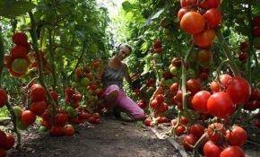 Как посадить помидоры в теплицу из поликарбоната?