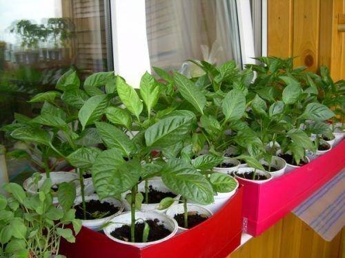 Молодые ростки перца и баклажан