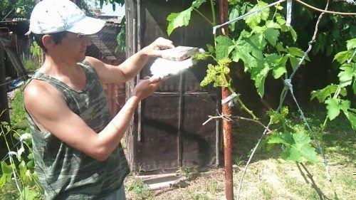 Переопыление винограда